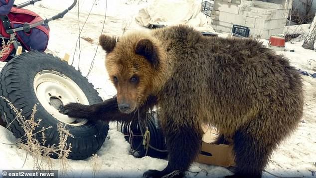 Xót xa người thợ săn bị con gấu nuôi từ bé xổng chuồng tấn công và ăn thịt - Ảnh 2