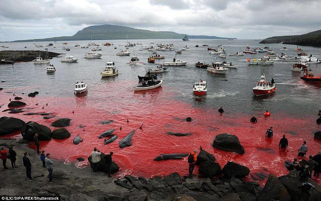 Vùng biển Đan Mạch lại nhuộm đỏ trong mùa thảm sát cả voi - Ảnh 1