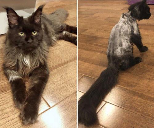 Trấn Thành kêu trời vì Hari Won cạo sạch lông mèo cưng 3.000 USD - Ảnh 1