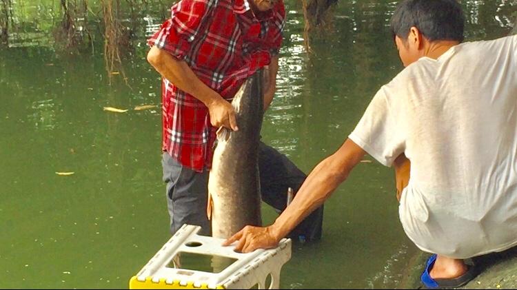"""Video: Cá trê """"khủng"""" hàng chục kg tại Hồ Gươm bị câu trộm - Ảnh 1"""