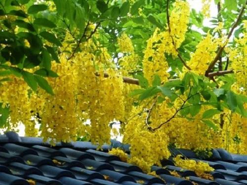 Những loại hoa đẹp vô cùng nhưng ẩn chứa chất độc gây chết người - Ảnh 3