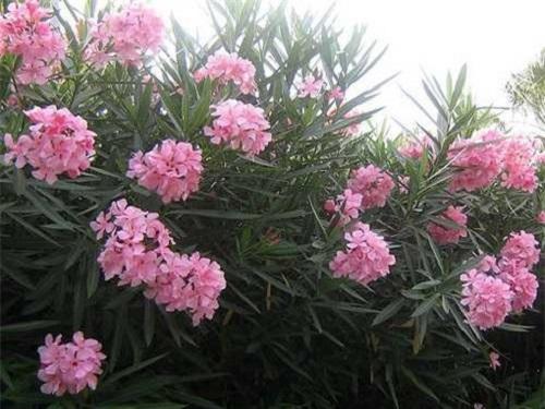 Những loại hoa đẹp vô cùng nhưng ẩn chứa chất độc gây chết người - Ảnh 6