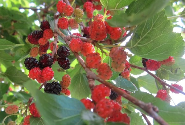 """Những loại cây tuyệt đối không nên trồng trước nhà, tránh """"khuynh gia bại sản"""" - Ảnh 5"""