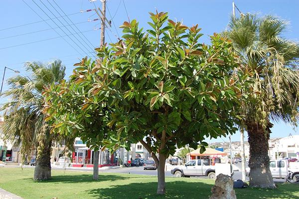 """Những loại cây tuyệt đối không nên trồng trước nhà, tránh """"khuynh gia bại sản"""" - Ảnh 1"""