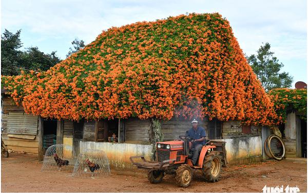 """Ngôi nhà phủ hoa chùm ớt ở Lâm Đồng """"biến mất"""", bao người ngẩn ngơ tiếc nuối - Ảnh 1"""
