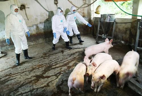 Dịch tả lợn châu Phi đã xuất hiện ở miền Tây - Ảnh 1