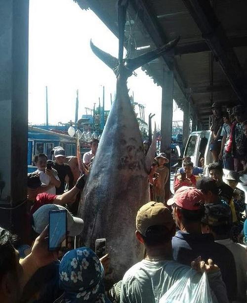 """Cận cảnh cá ngừ """"siêu khủng"""" nặng gần 400kg mà ngư dân Khánh Hòa vừa câu được - Ảnh 2"""
