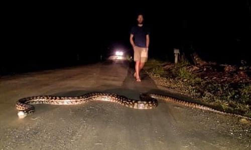 Trăn khổng lồ dài 7 mét nằm giữa đường trong đêm khuya khiến du khách khiếp vía - Ảnh 1