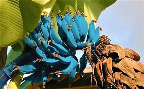 Bí ẩn về loại chuối màu xanh lam trên đảo Hawaii - Ảnh 1