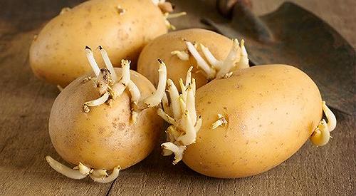 Những thực phẩm có độc tự nhiên, người Việt cần biết khi chế biến để khỏi chết người - Ảnh 2