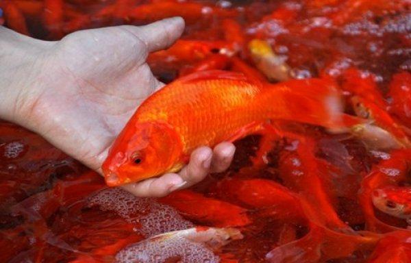 Cách chọn cá chép cúng ông Công ông Táo khỏe và đẹp nhất - Ảnh 2