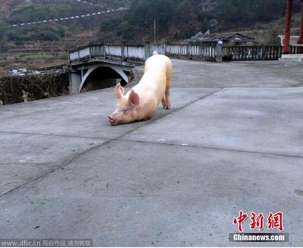 """Clip chú lợn quỳ gối hàng tiếng đồng hồ trước cửa chùa khi bị bắt tới lò mổ khiến dân mạng """"dậy sóng"""" - Ảnh 1"""