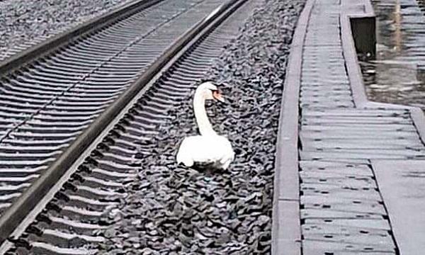 """Con thiên nga """"nằm lì"""" giữa đường ray, 20 chuyến tàu bị hủy, biết sự thật ai cũng rơi nước mắt - Ảnh 1"""
