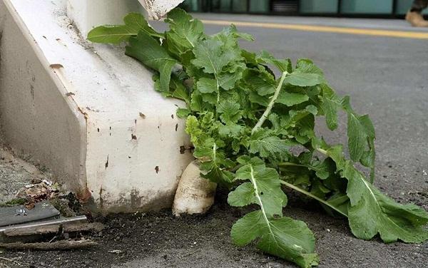 """Màn trồng rau cải trên vỉa hè gây """"bão"""" CĐM, người nói gắn keo 502, người bảo phun thuốc - Ảnh 2"""