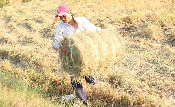 Nghề cuộn rơm ở miền Tây, nông dân thu nhập tiền triệu mỗi ngày - Ảnh 3