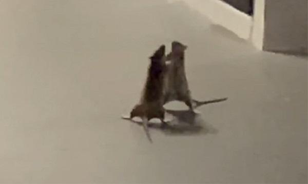 Boss mèo thản nhiên đứng nhìn hai con chuột hỗn chiến, dân mạng thi nhau đoán kịch bản - Ảnh 2