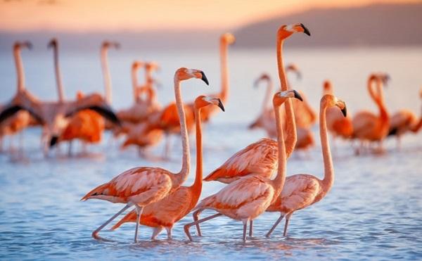 Có phải từ khi sinh ra, chim hồng hạc đã có bộ lông màu hồng đẹp mắt như vậy không? - Ảnh 1