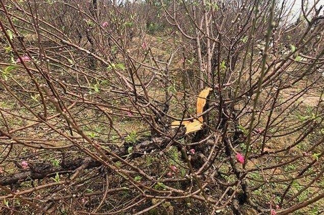 11 gia đình mất trắng gần 150 gốc đào bán Tết vì mải xem ĐT Việt Nam đá Yemen - Ảnh 1