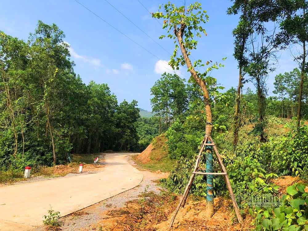 """Cận cảnh hàng cây hoa ban vô chủ """"tự mọc"""" ở ven đường ở Quảng Ninh - Ảnh 3"""