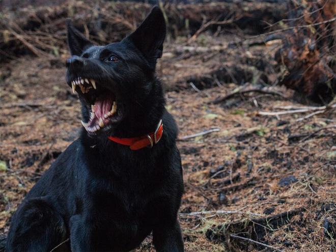 Kinh hoàng chó becgie xổng chuồng cắn chết bé gái 9 tuổi trên đường đến trường - Ảnh 1