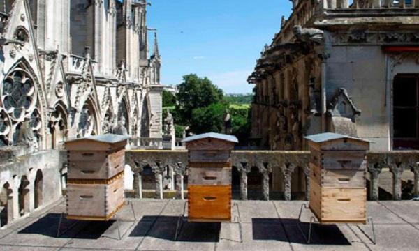 Gần 200.000 chú ong sống sót kì diệu sau vụ cháy Nhà thờ Đức Bà Paris - Ảnh 1