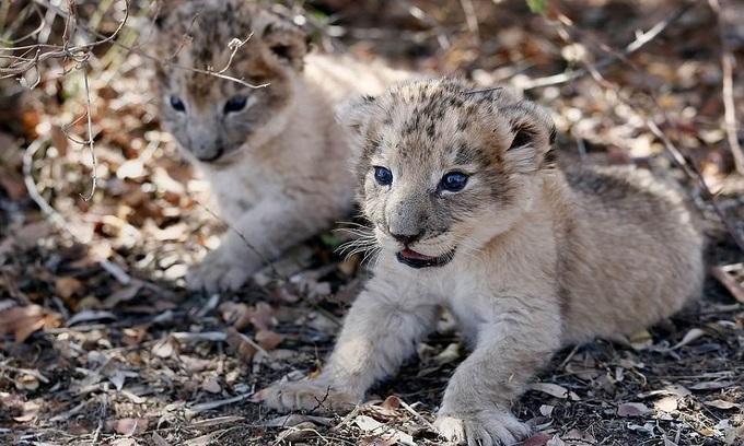 Báo đốm đầu tiên được sinh bằng phương pháp thụ tinh nhân tạo bị báo mẹ ăn thịt - Ảnh 3