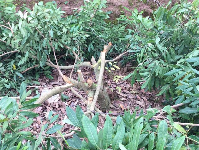 Xót xa gần trăm cây nhãn đang ra hoa bị kẻ gian chặt phá tan nát - Ảnh 3