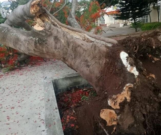 Lại thêm một cây phượng cổ thụ trong trường học bật gốc  - Ảnh 2