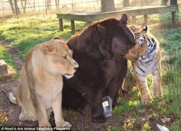 """Tình bạn 18 năm của hổ, gấu và sư tử """"đốn tim"""" cư dân mạng khắp thế giới - Ảnh 1"""