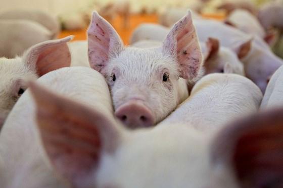 Nóng: Phát hiện 2 ổ dịch tả lợn châu Phi tại Việt Nam - Ảnh 1