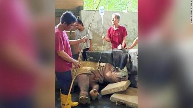 Loài tê giác hai sừng chính thức tuyệt chủng trong tự nhiên tại Malaysia - Ảnh 1