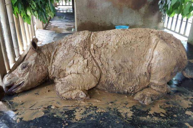 Loài tê giác hai sừng chính thức tuyệt chủng trong tự nhiên tại Malaysia - Ảnh 2