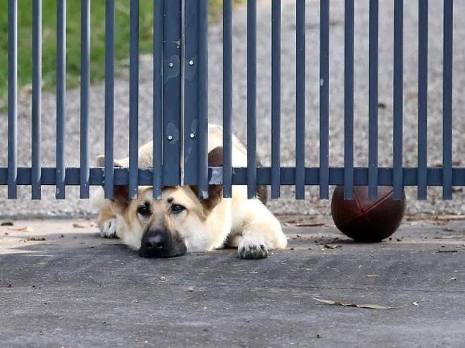 Cảm động chú chó buồn bã nằm ở cổng chờ đợi người chủ đã qua đời trở về - Ảnh 2