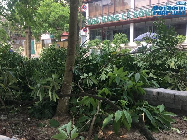 Hà Nội chuyển 100 cây hoa sữa lên bãi rác Nam Sơn: Người dân Tây Hồ nói gì? - Ảnh 3