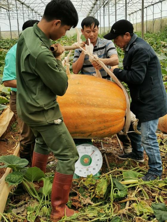 Chiêm ngưỡng quả bí ngô lớn nhất Việt Nam, dài 1,2m, nặng hơn 126 kg - Ảnh 2