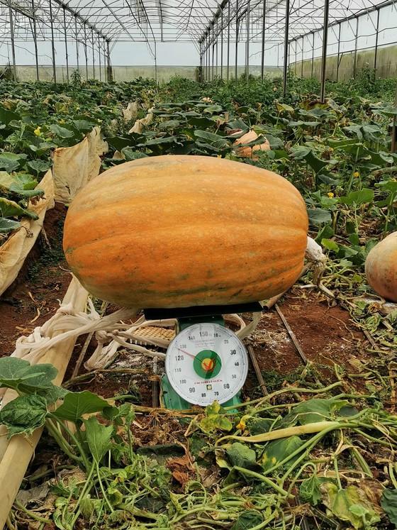 Chiêm ngưỡng quả bí ngô lớn nhất Việt Nam, dài 1,2m, nặng hơn 126 kg - Ảnh 3