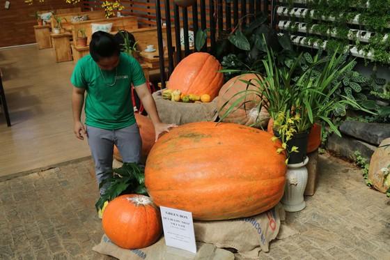 Chiêm ngưỡng quả bí ngô lớn nhất Việt Nam, dài 1,2m, nặng hơn 126 kg - Ảnh 4