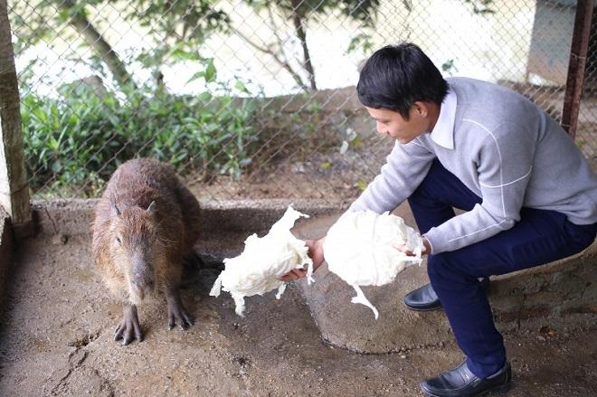 """Xuất hiện chuột """"khổng lồ' tại Hà Nội, nặng gần 50kg - Ảnh 1"""