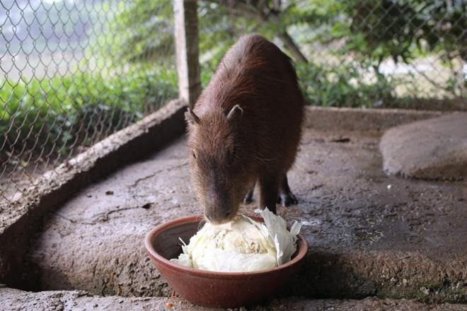 """Xuất hiện chuột """"khổng lồ' tại Hà Nội, nặng gần 50kg - Ảnh 4"""