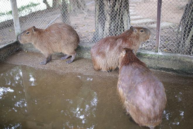 """Xuất hiện chuột """"khổng lồ' tại Hà Nội, nặng gần 50kg - Ảnh 6"""