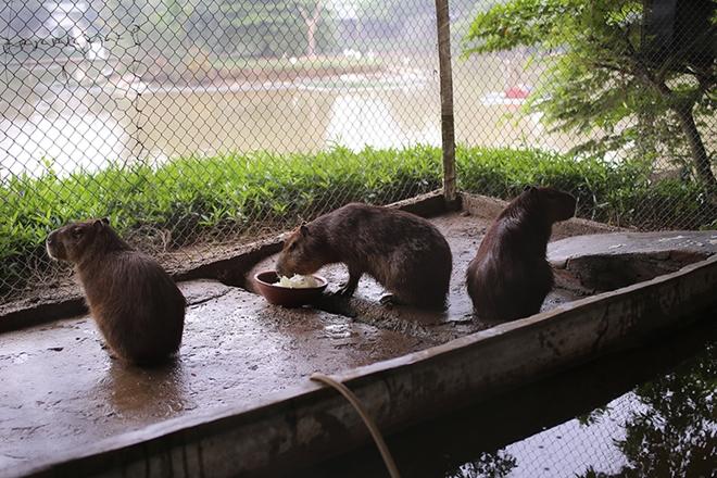"""Xuất hiện chuột """"khổng lồ' tại Hà Nội, nặng gần 50kg - Ảnh 7"""