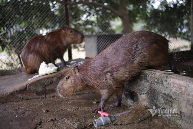 """Xuất hiện chuột """"khổng lồ' tại Hà Nội, nặng gần 50kg - Ảnh 8"""