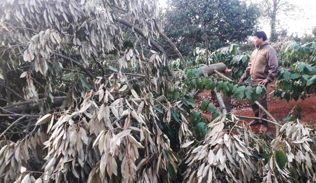 Xót xa phát hiện gần 60 cây sầu riêng bị chặt phá ngày mùng 2 Tết, thiệt hại gần 600 triệu đồng - Ảnh 1