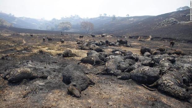 Những hình ảnh khiến người xem rớt nước mắt trong đại thảm họa cháy rừng ở Australia - Ảnh 15