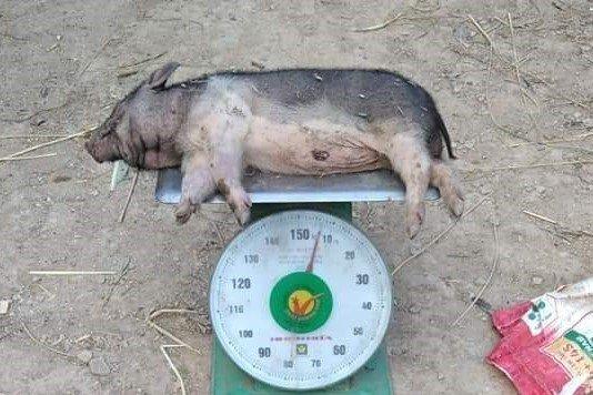 Người dân ngã ngửa khi lợn chính sách đắt đỏ vừa được cấp đã lăn ra chết - Ảnh 1