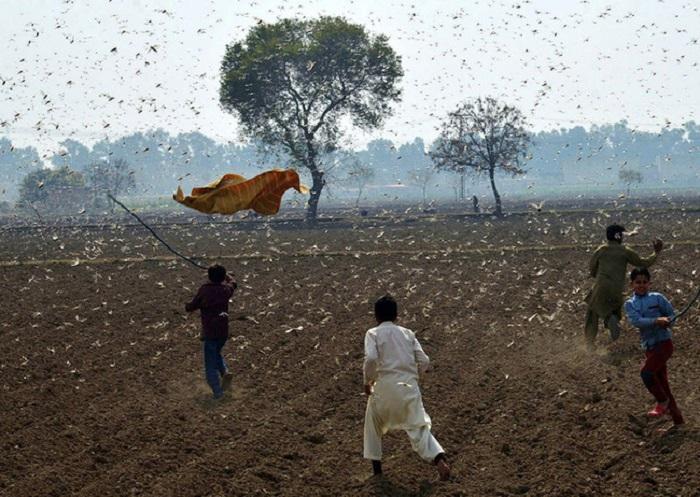 Choáng váng trước sức tàn phá của hàng trăm triệu con châu chấu đang tràn vào châu Á - Ảnh 4