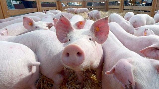 Bộ Nông nghiệp đồng ý đề xuất nhập khẩu lợn sống đẻ bình ổn giá thịt trong nước - Ảnh 1
