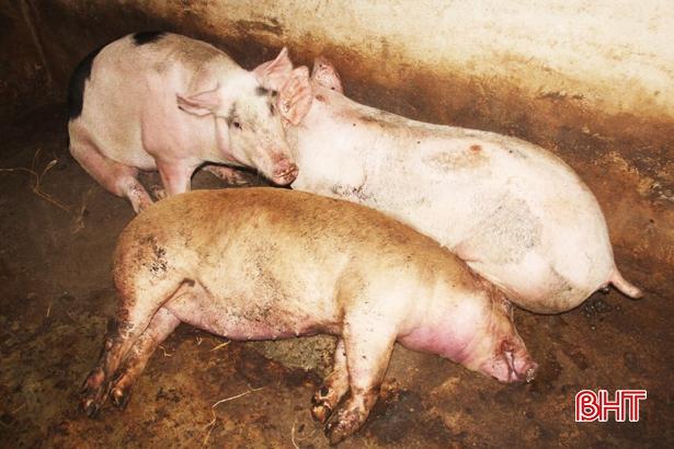 Xuất hiện dịch tả lợn châu Phi tại Hà Tĩnh - Ảnh 1