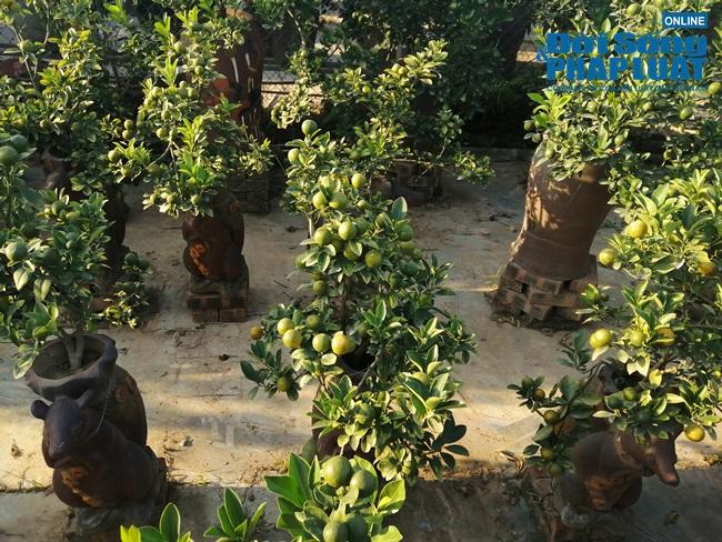 """Hút mắt với dàn cây """"chuột cõng quất bonsai"""" chưng ngày Tết - Ảnh 2"""
