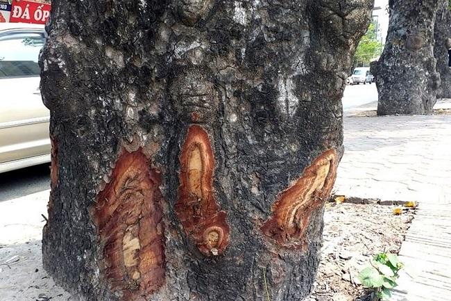 Hà Nội: Làm rõ việc hàng loạt cây xà cừ bị lột vỏ, đục khoét trên các tuyến phố lớn - Ảnh 1